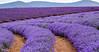 Bridestowe Lavender Estate Tasmania Australia (tyronne_thomas) Tags: lavender farm tasmania purple violet nature flower bridstowe bridestowe estate nabowla tas