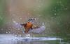 Kingfisher dive-1461 (Theo Locher) Tags: ijsvogel kingfisher eisvogel martinpecheur alcedoatthis birds vogels vogel oiseaux netherlands nederland copyrighttheolocher