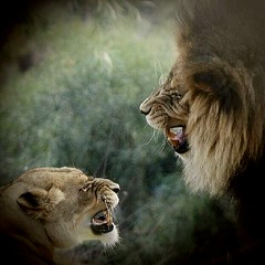 African Lions (Pix.by.PegiSue>Thx 4 over 6M+ views! See my Albums) Tags: africanlions bigcats lioness lion allrightsreservedcopyrightpixbypegisue