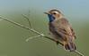 Blaukehlchen (normen.nikon) Tags: d500 nikon tc 14 manfrotto berlebach 200500 wildlife bird vogel