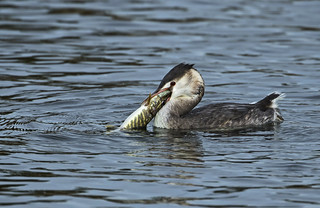 Grebe - Swallow your pride