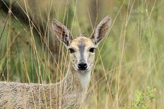 Sylvicapra grimmia ♀ (Common Duiker) - South Africa (Nick Dean1) Tags: sylvicapragrimmia duiker commonduiker antelope animalia chordata mammal mammalia krugernationalpark southafrica