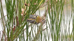 My first Goldcrest (tobystacey) Tags: gold goldcrest first myfirstgoldcrest bird naturephotography nature naturel natureshots naturebest wildlife animal animalphotography feathered feathers wings green colours colour colourful beautiful beauty cute plant little uksmallestbird photography photo