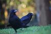 Carrion Crows, Bristol, Ian Wade (Disorganised Photographer - Ian Wade - Travel, Wil) Tags: birds bristol crows carrion ian wade photography brandon hill awt