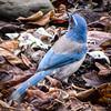 Western Bluebird (Michael Guttman) Tags: bluebird bird westernbluebird springfield oregon nature leaves outdoors