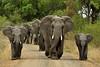 Elephants Olifant (Rob Keulemans) Tags: 2017 krugernationalpark elephants swimming