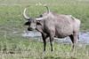 Wild Buffalo - Bubalus arnee (Roger Wasley) Tags: wild buffalo bubalusarnee kaziranga nationalpark india assam mammal asia wildwaterbuffalo asian water asiatic indian subcontinent