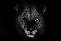 leone2 (vincenzomistretta) Tags: lion sudafrica parco kruger safari nature notte nikond750 animal