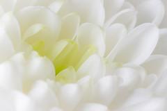 White Flower (Welsh Photographer) Tags: pentax k3ii sigma 105mm ex macro flower flora forna