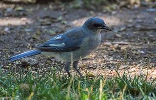 Mexican Jay with Leucism [Explored]