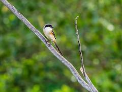 20171202-EM128581 (shutterblades) Tags: birds longtailedshrike olympusem1mkii olympusmzuiko300mmf4pro14tc seletaraerospacepark seletarwestlink