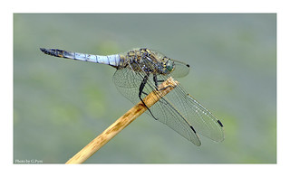 Blue dragonfly at the pond