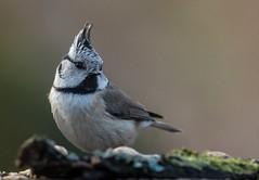 Crestet Tit (hardy-gjK) Tags: birds vögel oiseaux hardy nikon natur nature wildlife tits meisen animals tiere