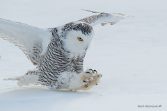 Deadly (Earl Reinink) Tags: raptor bird animal wings nature naturephotography winter snow cold flying outdoors earl reinink earlreinink claws talons deadly owl snowy snowyowl ziiddtuaia
