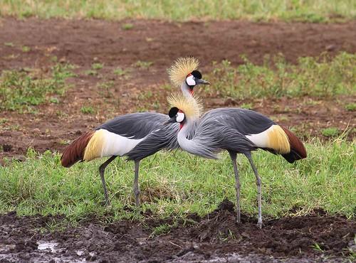 Grey Crowned Crane , male and female , Ngorongoro Crater,II,   Tanz rudy50DIMG_3996