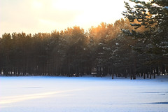 Siberian Dawn (Lyle Nel) Tags: trees nature snow sunglight godrays rays yellow winter forest winterforest