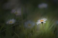 Aquella primavera... (Giacomo della Sera) Tags: macro flor flores verde green hierba grass calidez warmy blanco white amarillo yellow primavera spring