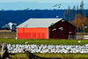 Snow Geese invading a farmer's field (ferglandfoto) Tags: nd45933 snowgeese geese farmer field skagitvalley bif bird barn
