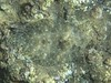 Flowery Flounder (also known as the Peacock or Tropical Flounder) ~ Bothus mancus ~ (Freshairphotography) Tags: floweryflounder flounder fish underwater maui mauihawaii ilovemaui camouflaged camouflage bothusmancus tropicalflounder flatfish bottomfeeder mothernature pacificocean ocean details hawaii hawaiian interesting nature naturesart unique