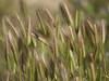 Epis doux * (Titole) Tags: ears softness green brown titole nicolefaton texture épis épi thechallengefactory