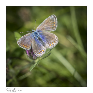 Common Blue butterfly (f) not a Brown Argus