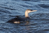 Red Throated Diver (Simon Stobart) Tags: red throated diver winter plumage gavia stellata swimming sea northeast england
