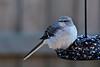 Northern Mockingbird (deanrr) Tags: bird feeder birdonfeeder 2018 winter2018 mockingbird northernmockingbird morgancountyalabama nature outdoor backyardbird alabama alabamanature stackerfeeder birdstackercake tamron18400 nikond7100