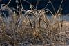 DSC04911 (mikael.kha248) Tags: winter snow ice nature depthoffield flora botanic botanica sunrise sunset wintersun wintersunset wintersunrise herbarium grass plants vegetable frost sunlight light winterlight micro micromacro macro macrophotography closeup sony sonysal5014 sal5014 alpha350 sonyalpha350