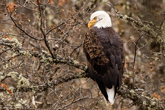 Bald Eagle (Haliaeetus leucocephalus) (Brown Acres Mark (always 2 days behind)) Tags: baldeagle haliaeetusleucocephalus emigrantcreek jacksoncounty oregon usa markheatherington