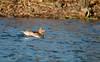 Im goldenen Licht (Anja van Zijl) Tags: ente duck eend watervogel waterbird pfeifente