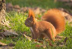 Nutty squirrel [explored] (hedera.baltica) Tags: squirrel redsquirrel eurasianredsquirrel wiewiórka wiewiórkapospolita sciurusvulgaris
