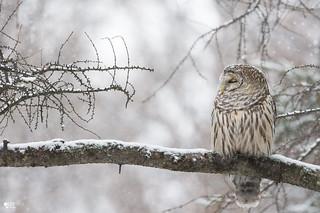 ''Sénérité de l'hiver!''Chouette rayée-Barred owl strix varia