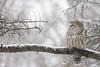 ''Sénérité de l'hiver!''Chouette rayée-Barred owl strix varia (pascaleforest) Tags: wildlife animal oiseau décor bird faune canada quebec wild nature nikon passion flocon show neige owl hibou
