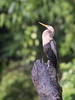 Anhinga (Tris Enticknap) Tags: anhinga anhingaanhinga peru oxbowlake tambopata amazonbasin bahuajasonenenationalpark