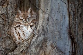 Chroniques d'Angrignon   Shannon au trou no 3   Petit-duc maculé mâle de forme rousse   Parc Angrignon   Arrondissement Sud-Ouest   Montréal