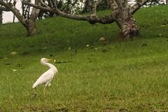 UN AIRONE CAMMINA    ----    WALKING HERON (Ezio Donati is ) Tags: animali animals uccelli birds erba grass foresta forest afrca costadavorio bigervillearea natura nature