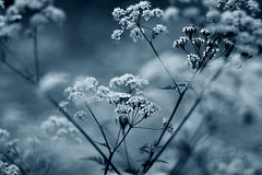 Umbellifer dreams (GillK2012) Tags: cow parsley anthriscussylvestris nature wildflower light bokeh canon 550d dreams clouds impression