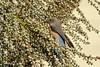 Western Bluebird (f) (Bob Gunderson) Tags: birds bluebirds california fortmason northerncalifornia sanfrancisco sialiamexicana thrushes westernbluebird