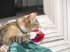 private 031 (lorablong) Tags: westhollywood california cat pet twix