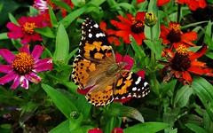 Vanessa Butterfly (matthewbeziat) Tags: vanessacardui paintedlady vanessa maryland jugbay parrisglendeningpreserve annearundelcounty butterflies insects