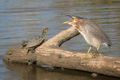 Turtlephobia (gseloff) Tags: greenheron redearedslider bird turtle reptile wildlife nature water log fishing bayou horsepenbayou pasadena texas kayakphotography gseloff
