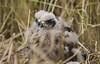 (Adam Hardy) Tags: tasmania swamp harrier banding