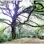 mighty tree in the meadows of ireland thumbnail