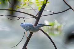 Ambush (JohnKuriyan) Tags: kumarakom kerala india in little green heron striated butorides