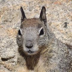 North American Squirrel (MJ Harbey) Tags: animal mammal sciuridae usa california pacificgrove loverspointpacificgrove squirrel greysquirrel nikon d3300 nikond3300 rocks squirrelportrait
