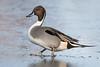 Codone ♂ - Anas acuta (Alberto Piselli) Tags: codone avifauna racconigi centrocicogneeanatidilipu