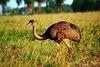 Avestruz avistado em Bonito - MS (Murilo Fiorini (Photography)) Tags: bonito ms avestruz