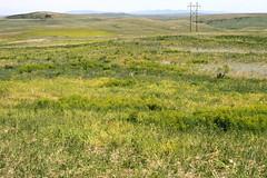Weeds12.tif (NRCS Montana) Tags: weeds noxious leafyspurge cropland