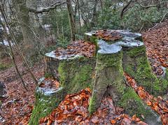 Alderlety Edge woodland (Andrew Kettell) Tags: woods tree bark cheshire alderley edge hdr lumix tz80 moss