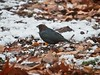 Cowbird (Goggla) Tags: nyc new york east village tompkins square park urban wildlife bird brown headed cowbird